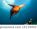 Beaytiful Latina Diver playing with sea lion underwater 19139402
