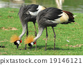 Portrait of a Grey Crowned Crane  19146121