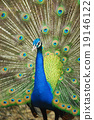 Male Indian Peafowl displaying tail feathers 19146122