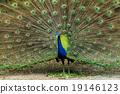 孔雀 展示 蓝孔雀 19146123