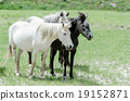 Wild horses eat in forest clearing in Jammu  19152871