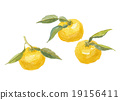柚子(小柑橘類水果) 柑橘類 柑桔類 19156411