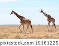 長頸鹿 網紋長頸鹿 野生生物 19161225