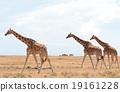 長頸鹿 網紋長頸鹿 野生生物 19161228