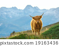 Highlander - Scottish cow On the Swiss Alps 19163436