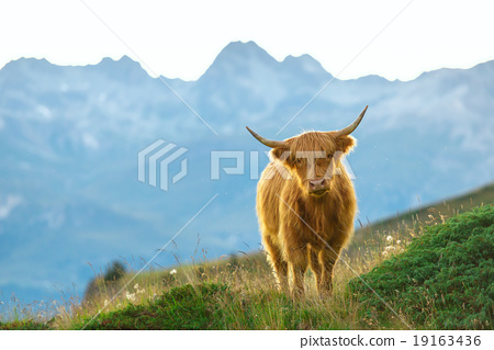 Highlander - Scottish cow On the Swiss Alps 19163436