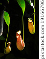 Nepenthes 19166796