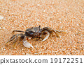 crab on the beach 19172251