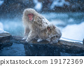 snow monkey, nagano, japan 19172369