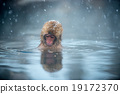 snow monkey, nagano, japan 19172370