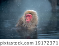 snow monkey, nagano, japan 19172371