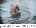 snow monkey, nagano, japan 19172374