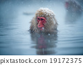 snow monkey, nagano, japan 19172375