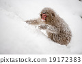 snow monkey, nagano, japan 19172383