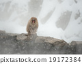 snow monkey, nagano, japan 19172384
