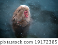 snow monkey, nagano, japan 19172385