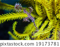 ghost pipefish 19173781