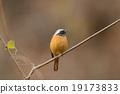 紅尾鴝 小鳥 鳥兒 19173833