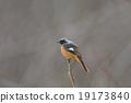 紅尾鴝 小鳥 鳥兒 19173840