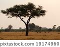 獅子 樹木 樹 19174960