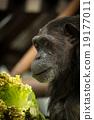黑猩猩 解剖刀 女性 19177011