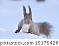 松鼠 日本北海道松鼠 松鼠常見的東 19179426