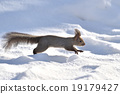 松鼠 日本北海道松鼠 松鼠常見的東 19179427