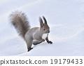 松鼠 日本北海道松鼠 松鼠常見的東 19179433