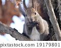 松鼠 日本北海道松鼠 松鼠常見的東 19179801