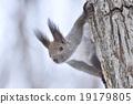 松鼠 日本北海道松鼠 松鼠常見的東 19179805