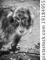 猴子 猴 日本獼猴 19184955