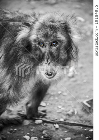 monkey, monkeys, japanese monkey 19184955