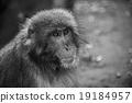 猴子 猴 日本獼猴 19184957