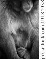 猴子 猴 日本獼猴 19184958