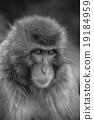 猴子 猴 日本獼猴 19184959