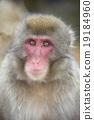 猴子 猴 日本獼猴 19184960