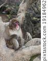 猴子 猴 日本獼猴 19184962