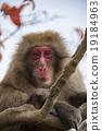 猴子 猴 日本獼猴 19184963