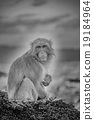 猴子 猴 日本獼猴 19184964