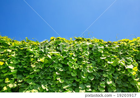 Ivy covered wall 19203917