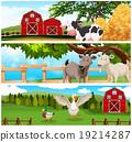 cow, goat, duck 19214287