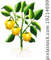 vegetable, plant, capsicum 19214699