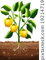 plant, fresh, capsicum 19214719
