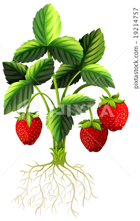 Fresh strawberries on the plant 19214757