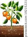 Orange capsicum on the plant 19215221