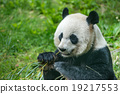giant panda while eating bamboo 19217553