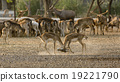 2 deer (or chital) play together 19221790