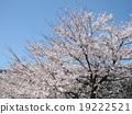 벚꽃 19222521