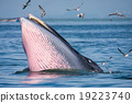 Bryde's whale feeding 19223740