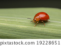 orange ladybug on leaf 19228651